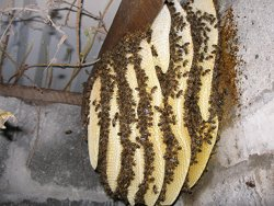 Photo of an established swarm in a garage