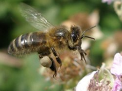 Photo of honey bee on a bramble