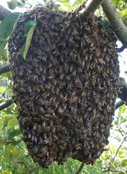 Photo of a honey bee swarm
