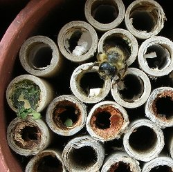 Photo of a Mason bee