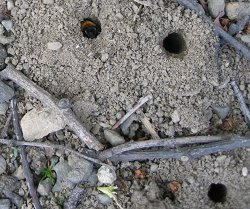 Photo of a Miner bee