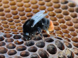 Photo of red tailed bumblebee
