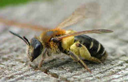 Photo of a Solitary bee