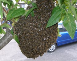Photo of swarm of bees